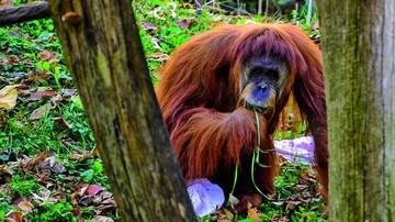 Se gana el beso más inesperado… de un orangután