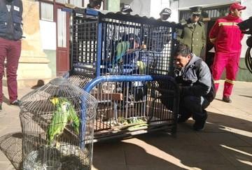 Rescatan loros y parabas en Sucre para devolverlas a su habitad