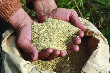 Disminuye la producción de amaranto en Tomina