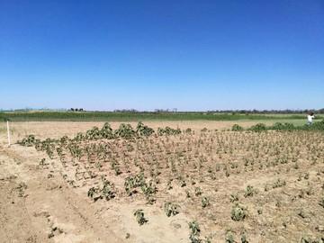 Productores solo abastecerán 20 a 25% de la demanda de trigo