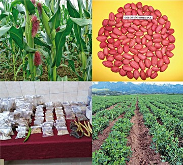 Agricultores accederán a semillas de variedades de maíz, maní y ají