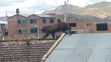 Alertan en Oruro sobre  la presencia de un puma