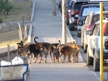 Zoonosis: Denuncias en redes  obstruyen captura de perros