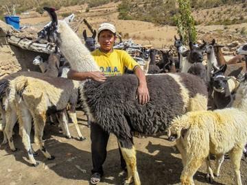 Proyecto coadyuva en el incremento de camélidos en Chuquisaca