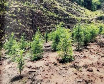 Sentencian a campesino que cultivaba marihuana