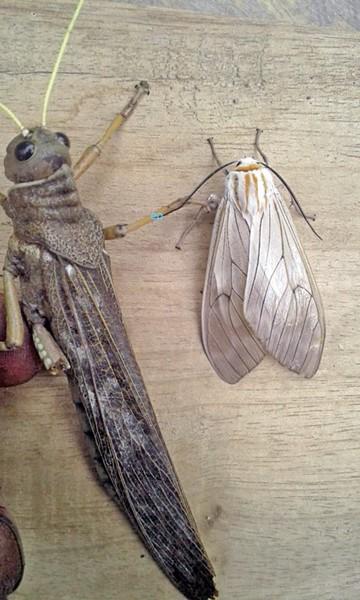 Aparición de insectos preocupa a padillenses