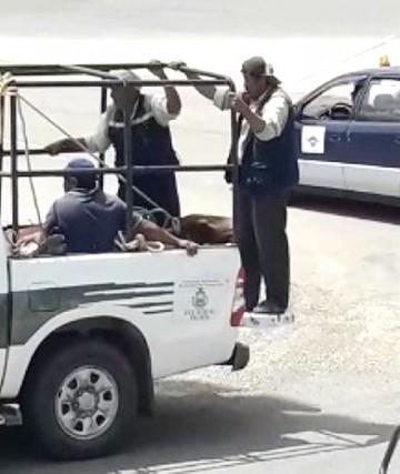 Un toro en el aeropuerto Alcantarí generó zozobra