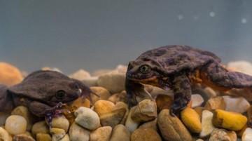 Las ranas Romeo y Julieta ya viven juntas