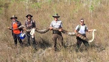 Hallan una gigantesca pitón hembra en un parque natural de Florida