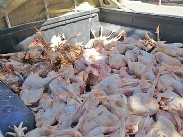 Decomisan 300 kilos de carne de pollo