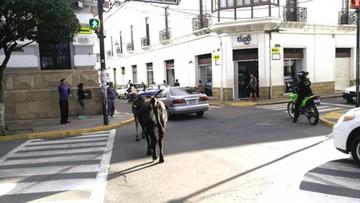 ¿Plaza... de toros?: Animales en el centro