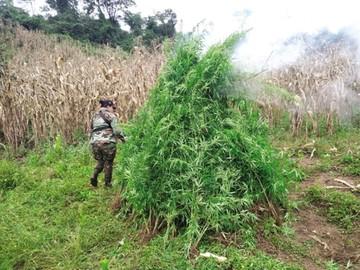 Descubren dos hectáreas de cultivos de marihuana