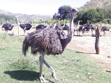 Senasag controla criaderos de avestruces