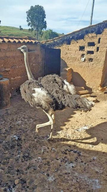 Dueño de avestruz pide apoyo y detener acoso