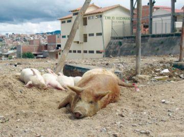 Zoonosis captura más de  diez cerdos por semana