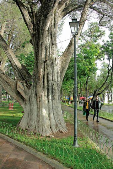 Sucre posee más de 176 mil árboles de diversas especies