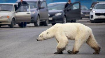 Captan a un oso polar vagando por una ciudad rusa
