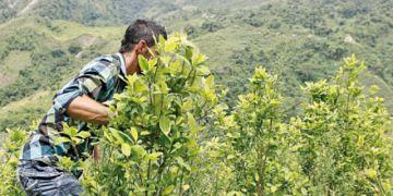 Disminuyen los cultivos de coca en Colombia