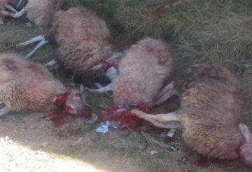 Perros atacan a una veintena de ovejas