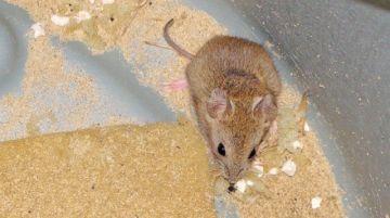 Creen que ratas migran por deforestación