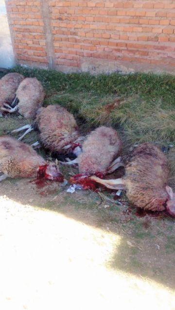 Continúan indagando el ataque a ovejas