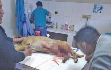 Una adolescente le cortó el pene a un perro con un machete