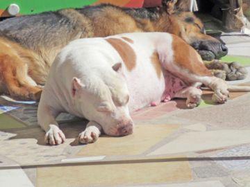Denuncian criaderos  de perros peligrosos