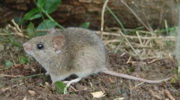 Aseguran que identificaron al roedor portador del arenavirus