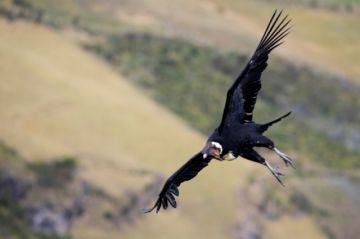 El cóndor, un ave  en peligro, en la  cima de los Andes