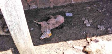 Misterioso ataque a ovejas provoca susto en vecinos
