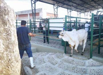 Expocruz: Se inicia recepción de bovinos