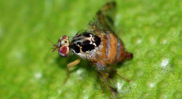 Se importarán 162 millones de moscas para luchar contra plaga
