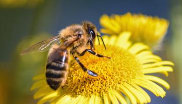 ¿Por qué las abejas fueron declaradas como el ser vivo más importante?