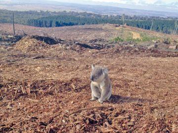 Los koalas, amenazados por incendios en Australia