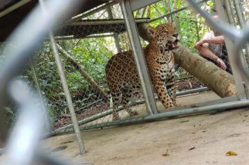 """Trasladan al jaguar """"Hernán"""" a un albergue en Los Yungas"""