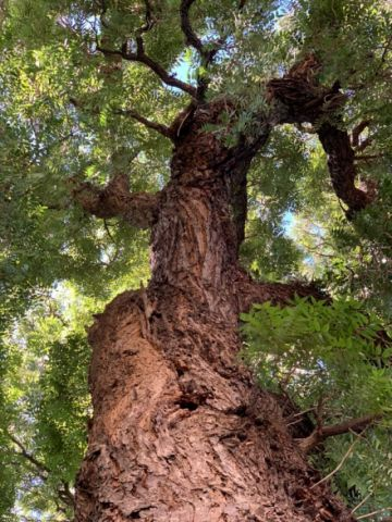 El cedro milenario de La Recoleta luce intacto