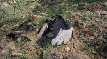 Identifican a una persona implicada en muerte de cóndores en Tarija