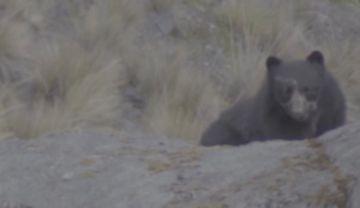 Oso jucumari sorprende a guardaparques cerca de La Cumbre de La Paz