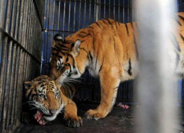 Detienen a cazador furtivo de tigres prófugo desde hace 20 años