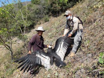 Encuentran a un cóndor herido en la Serranía del Iñao