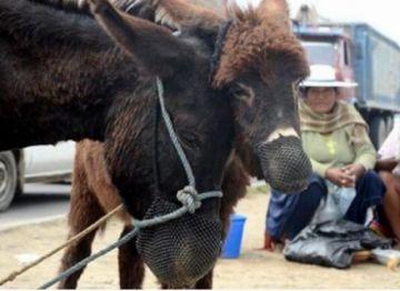 Covid-19: El suero con sangre de burro está listo y prevén realizar pruebas en pacientes de La Paz