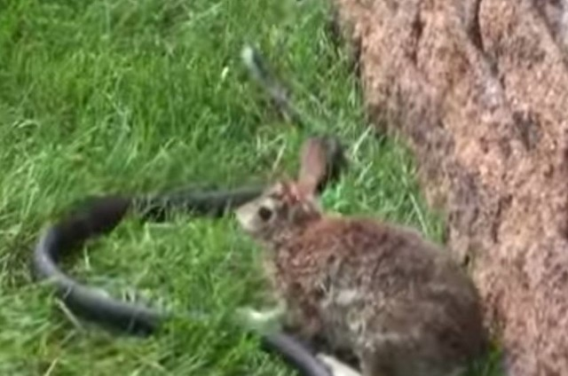 Una coneja le da una paliza a la serpiente que intentó comerse a sus crías