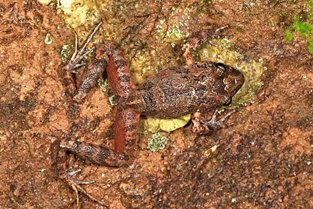 Hallan en Bolivia una nueva especie de rana y estudian subastar su nombre