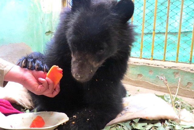 Ajayu, el oso jukumari, ya encontró un hogar y se recupera favorablemente