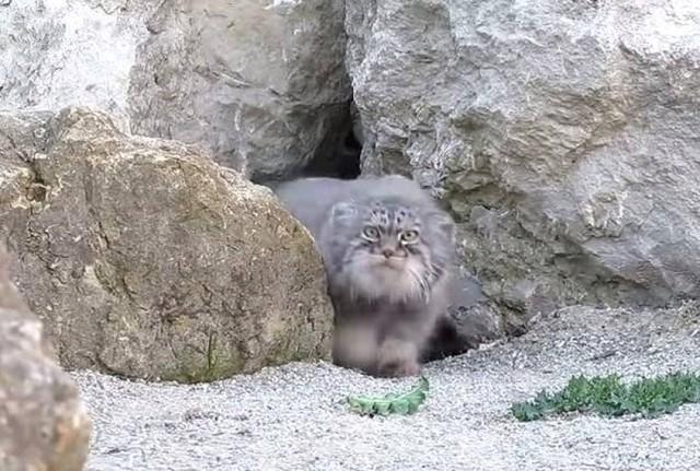 Científicos hallan en Creta ejemplar de gato salvaje que se creía extinguido