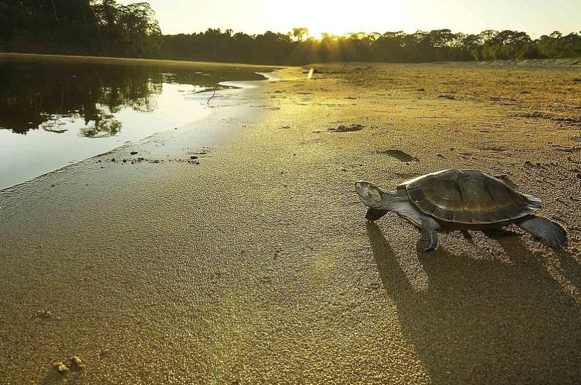 Miles de tortugas acuáticas fueron liberadas en Pando. Foto: APG