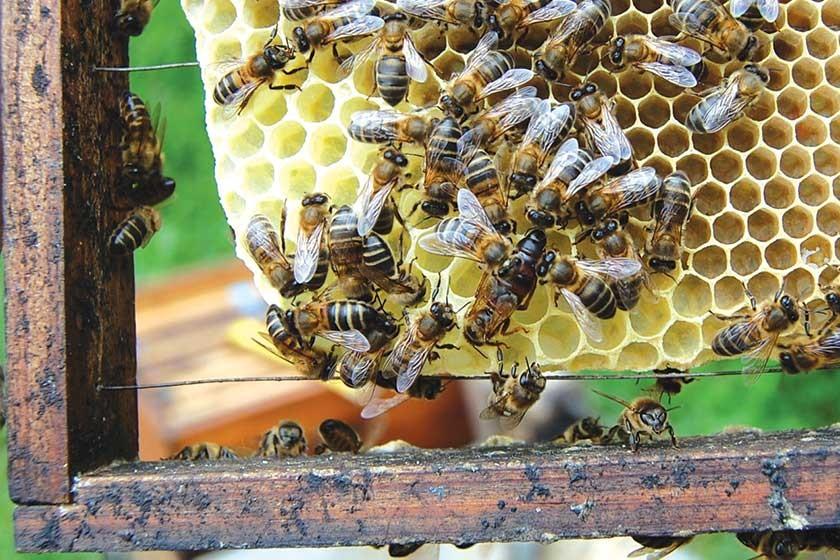 Crianza de reinas, un factor determinante en la apicultura