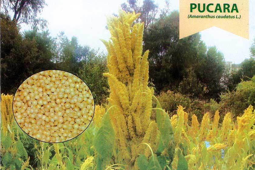 Chuquisaca produce más amaranto pero La Paz es el mayor exportador