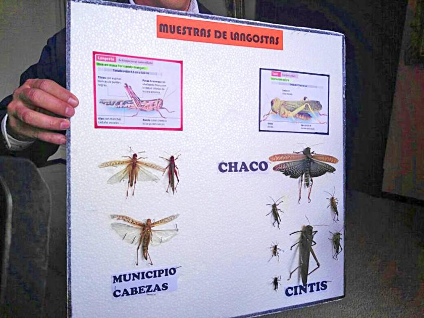 PLAGA. La muestra de las langostas en Santa Cruz y Chuquisaca.