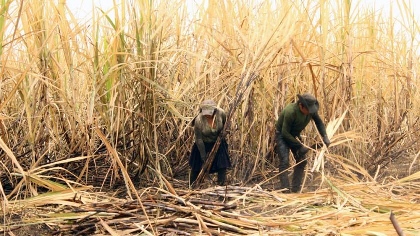 Los productores de caña de azúcar están en emergencia por los permisos de exportación. INTERNET